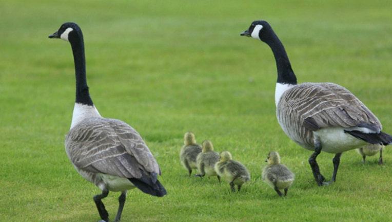 GETTY geese goose_1560300902226.jpg.jpg
