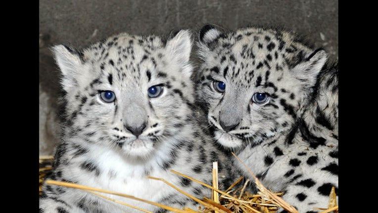 ea666653-snow-leopard-baby-2