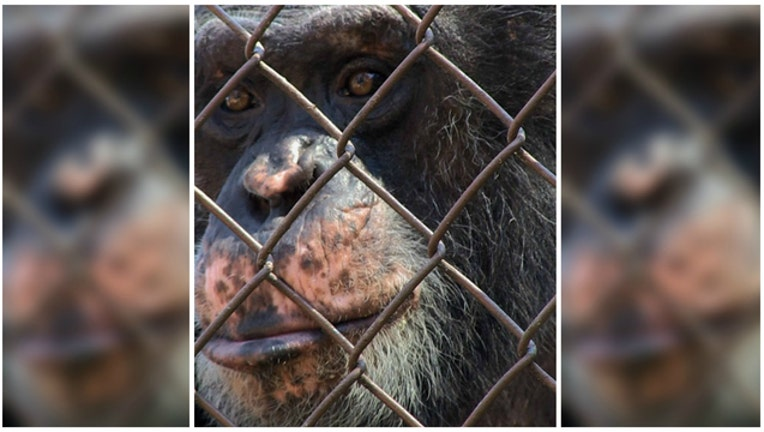 Battle over whether this chimp should be given human rights - Photo courtesy Nonhuman Rights Project