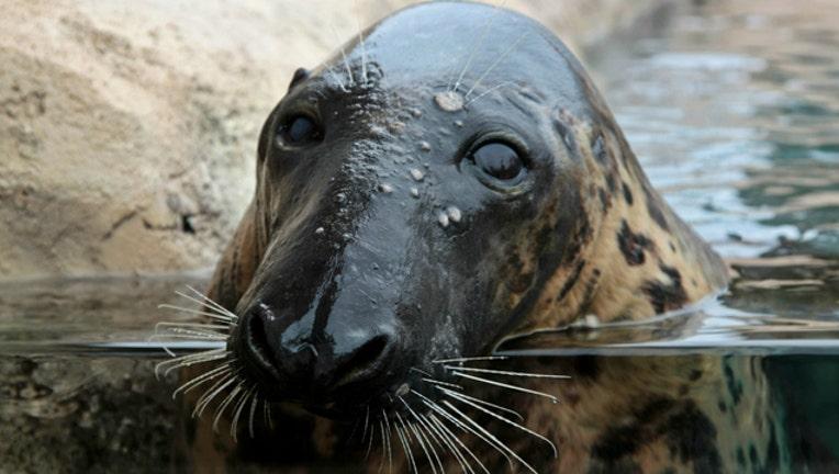 lincoln park zoo seals_1484172029352.jpg