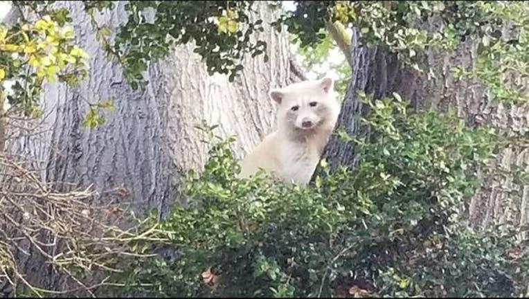albino_raccoon_new_1531241576350-405538.JPG