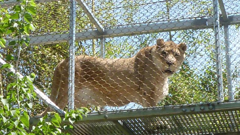 african lion Zenda_1483121592509-401096.png