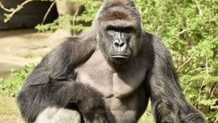 gorilla-harambe_1464531473311-404023-404023.jpg