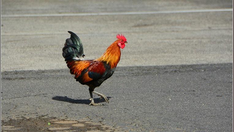 chicken-road_1465835157329.jpg