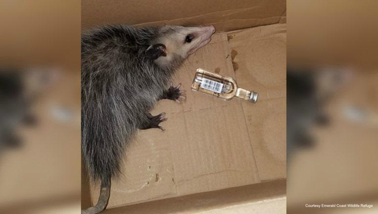 fd77a3a6-Opossum rescued by Emerald Coast Wildlife Refuge