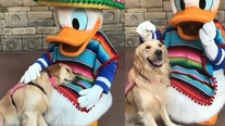 Service dog cuddles with Donald Duck in heartwarming video