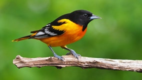 Sick, dying songbirds reported across Indiana, so people are being told to remove birdfeeders