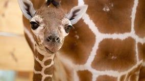 Como Zoo celebrates birth of baby giraffe