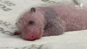 Germany's first-ever panda cub twins thriving at Berlin Zoo