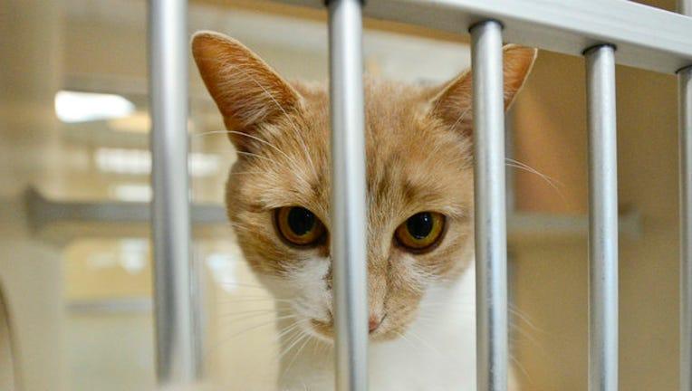 f6ebca2b-GETTY-shelter-cat_1564144002058.jpg