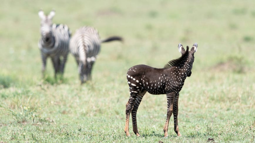 'Looked like a different species': Rare polka-dotted zebra spotted at wildlife reserve in Kenya
