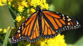 Thousands of monarch butterflies migrate from Colorado to Mexico in 3,000 mile journey