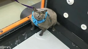 Fat cat can't be bothered with treadmill workout