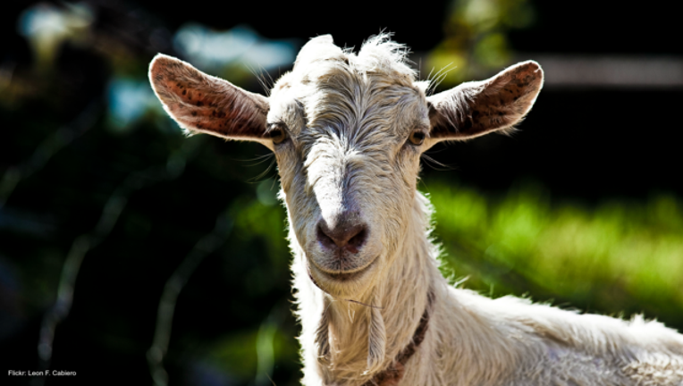 f824ee9f-Goat file photo by Leon F. Cabiero