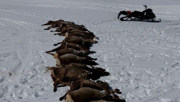 f03cb495-wolves-kill-elk_1459001710319.jpg