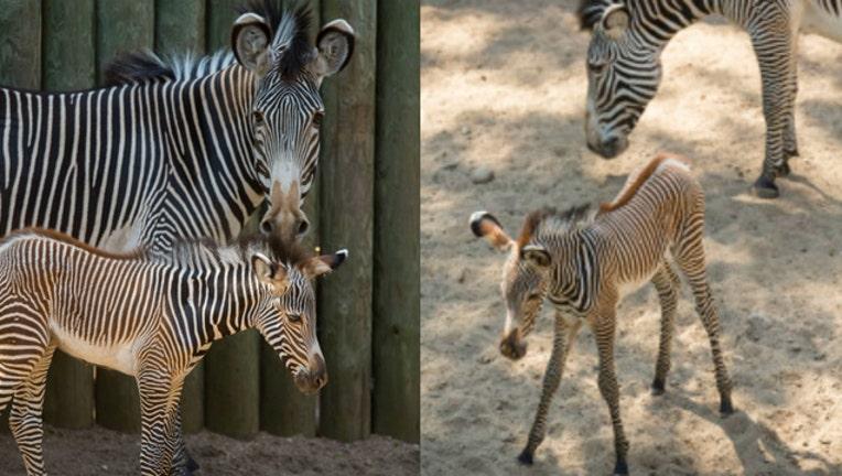17796c74-zebra-foal_1466617171597.jpg