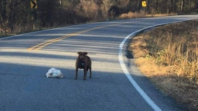 'Anyone missing their frozen turkey?': Dog caught with whole Thanksgiving fowl in middle of road