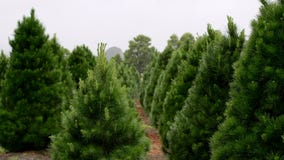 Shortage of Christmas trees predicted this year