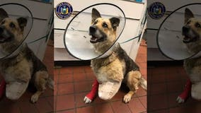 Police: Chained, abused dog chewed off her own paw; owner charged