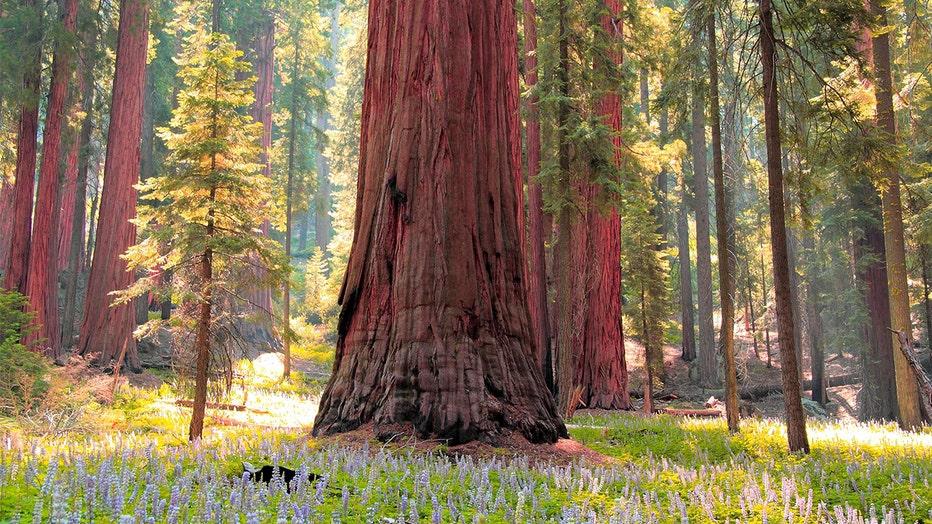 SequoiaInMeadow__Banner__NPS.jpg