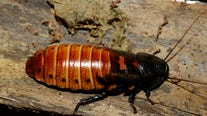 Hiss from a rose: Bronx Zoo lets you name a roach after loved one (or unloved one) for Valentine's Day