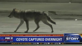 Coyote captured Thursday after boy bitten, series of sightings