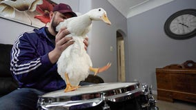 Drumming duck in St. Paul rocks to his own beat