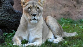 Brookfield Zoo euthanizes 14-year-old female African lion