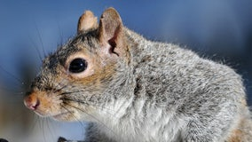 One-eyed squirrel of Instagram fame released back into the wild