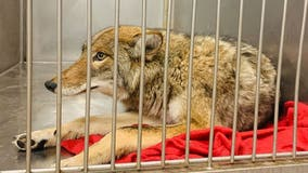 Captured coyote undergoes DNA test to confirm if it bit 6-year-old boy