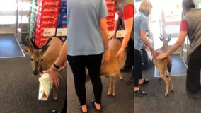 Shop staff rush to shoo hungry deer from Florida store