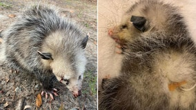 Golfers beat baby opossum with clubs, leaving animal blind, rescuers say