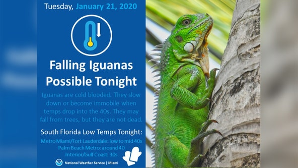 Forecast: Falling iguanas in South Florida