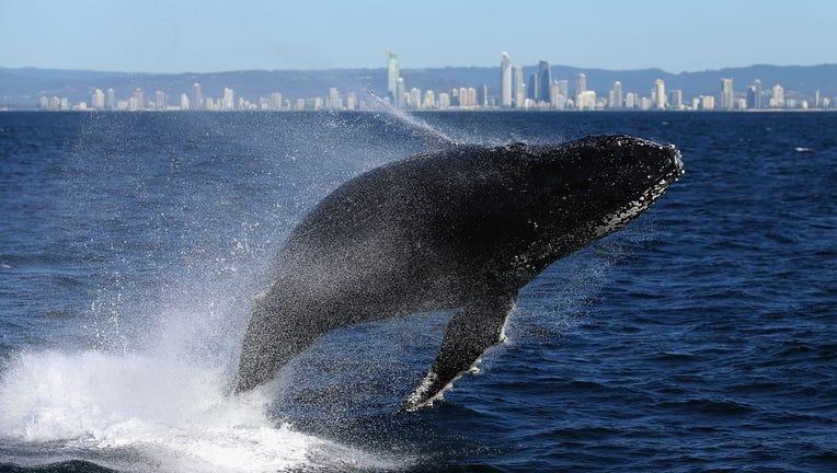 Whale breaching off Australian coast