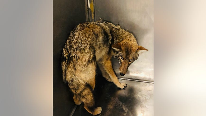 Tests confirm coyote caught last week is the same animal that attacked 6-year-old boy