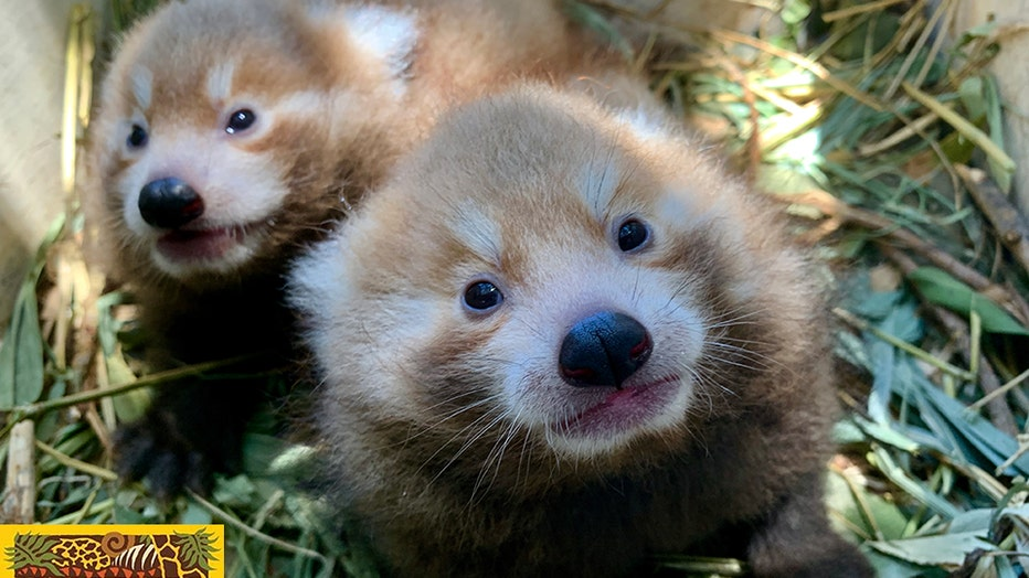 Twin red pandas were born at Perth Zoo in Australia on Dec. 2, 2019. The IUCN lists red pandas as endangered.