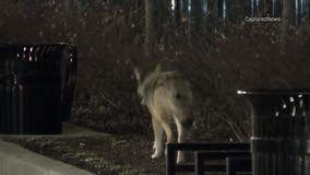 Parents, dog owners wonder what to do if you see a coyote