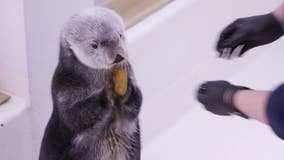 Shedd otters show off football skills for Super Bowl Sunday