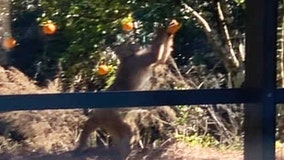 Monkey spotted picking oranges outside Florida home