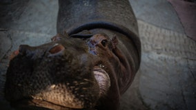 Drug lord's four hippos have spawned 80 more hippos, and they're terrorizing a little town