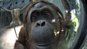 Orangutan who has legal 'personhood' status celebrates 34th birthday with new friend