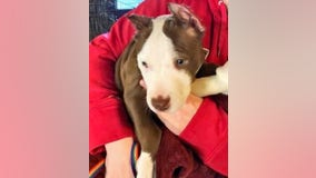 Police: Puppy's ears cut off with scissors, superglued onto head