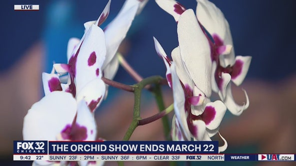 The Orchid Show on display at Chicago Botanic Garden through March 22nd