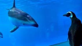 Penguins take 'field trip' around empty Chicago aquarium closed over COVID-19 concerns