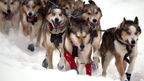 As Iditarod teams travel across Alaska, but fans are asked to avoid the finish line