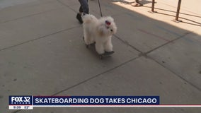 Skateboarding dog in Chicago brings cheer amid COVID-19 pandemic