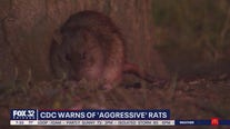 CDC issues warning of 'aggressive rats'