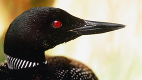 A loon killed a bald eagle by stabbing its heart, biologist says