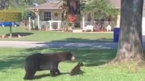 Mama bear, 2 cubs spotted in Sebring neighborhood