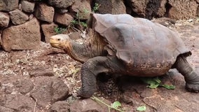 Diego the tortoise, famous for saving species with his high sex drive, starts retirement